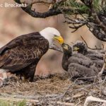 1st Place Wildlife - Eagle with Young by Vic Brockett