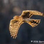 1st Place Wildlife - Northern Harrier Flying into Setting Sun by Barry Blanding
