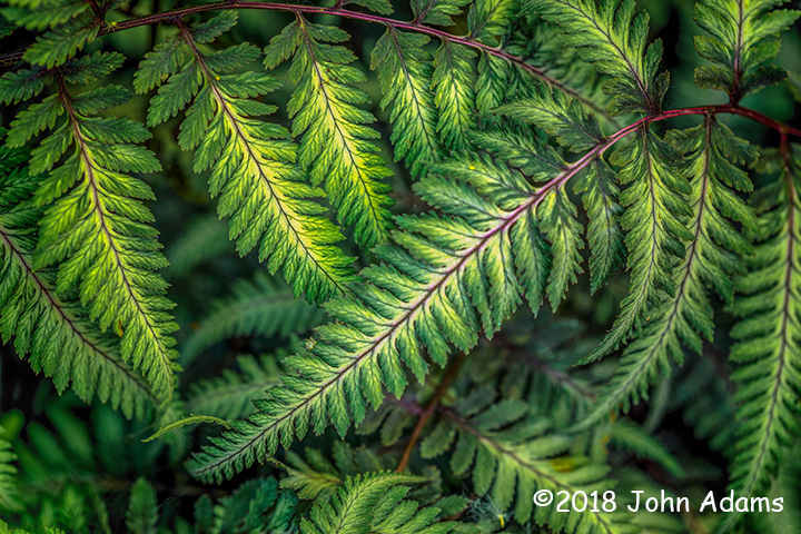 1st Place Plant Life - Ferns by John Adams