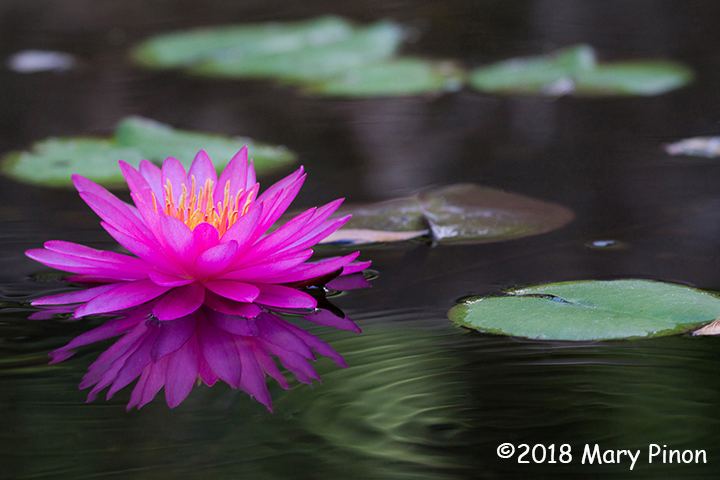 1st Place Plant Life - Water Lily Ripple by Mary Pinon