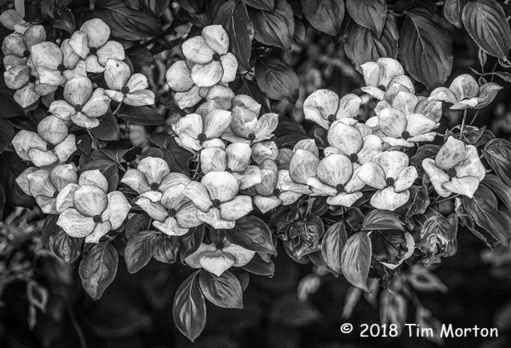 1st Place Plant Life - Dogwood by Tim Morton