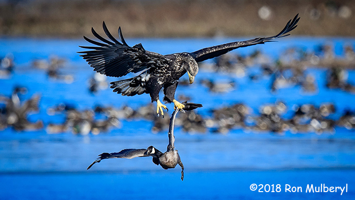1st Place Wildlife - Free Ride by Ron Mulberyl