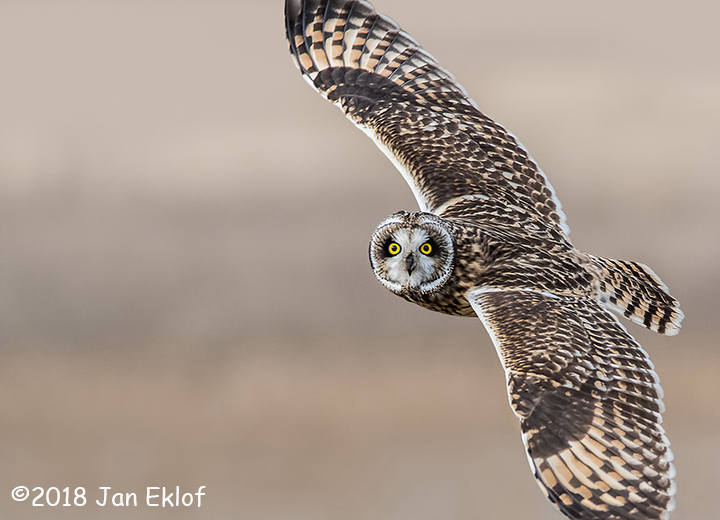 1st Place Wildlife - Short Eared Owl In Flight by Jan Eklof