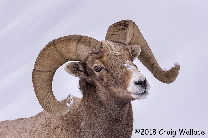 2nd Place Wildlife - Big Horn Sheep by Craig Wallace