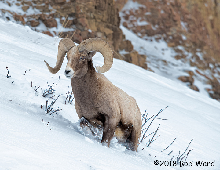 3rd Place Wildlife - Rambling Ram by Bob Ward