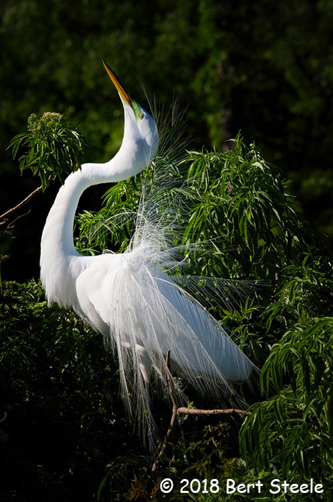 People's Choice Wildlife - Fancy Egret by Bert Steele