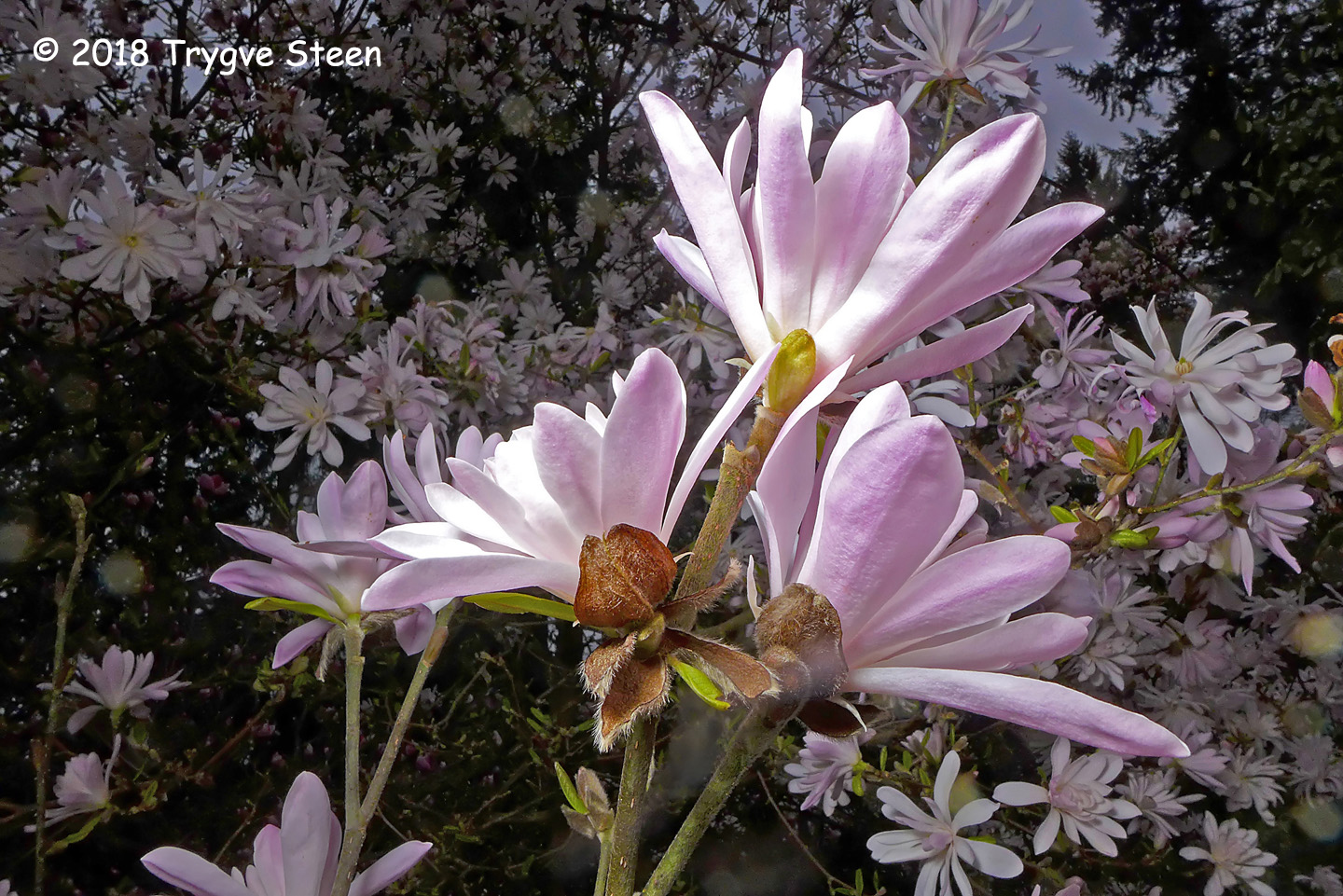 1st Place Plant Life - Rosy Star Magnolia by Trygve Steen