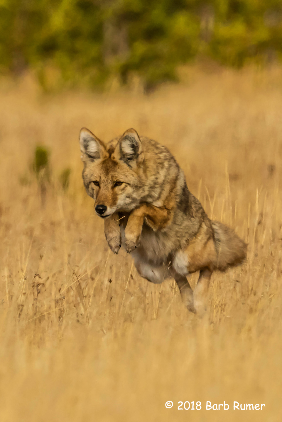 3rd Place Wildlife - Dancing Coyote by Barb Rumer