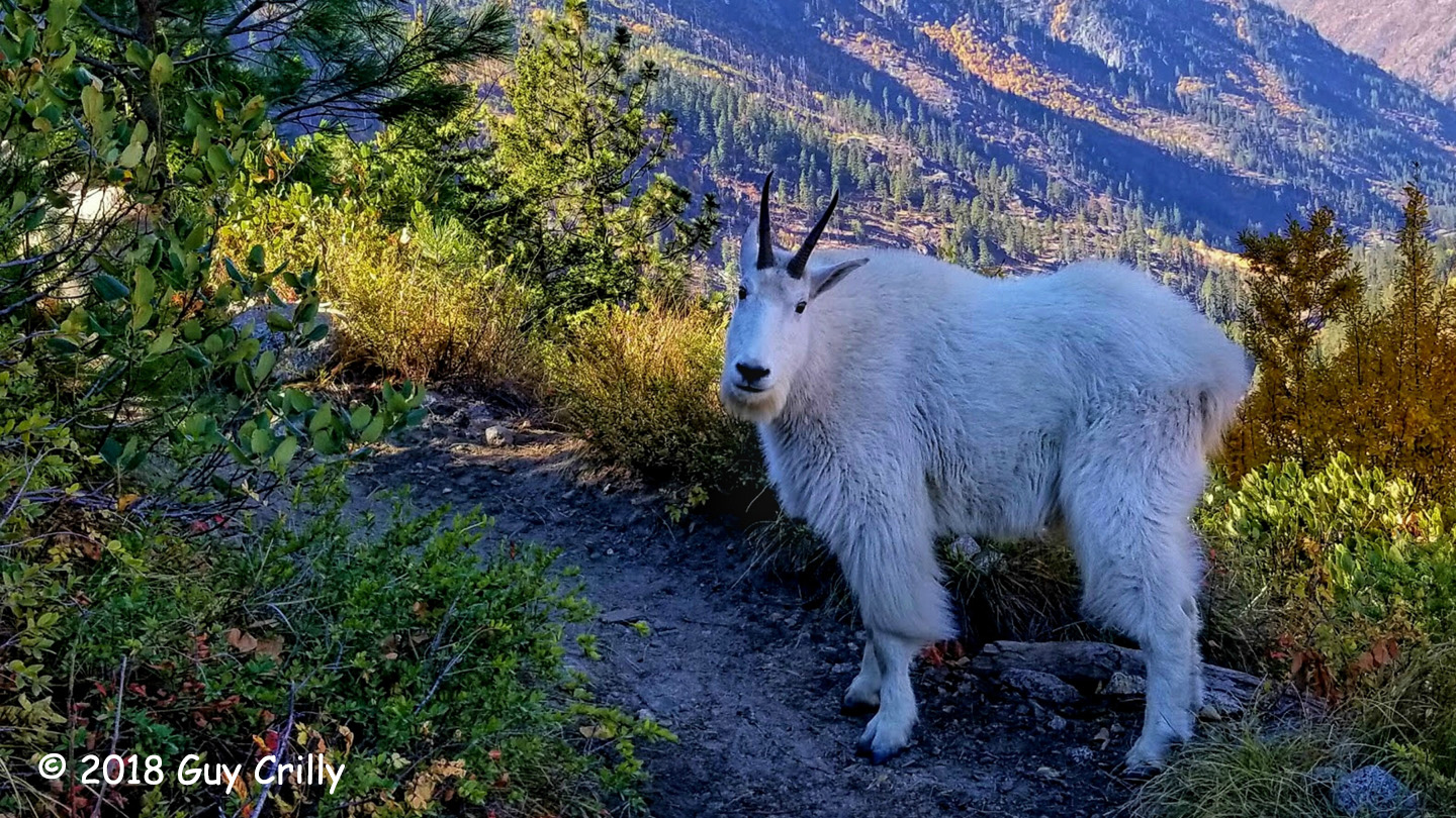 3rd Place Wildlife - October Mountain Goat by Cuy Crilly