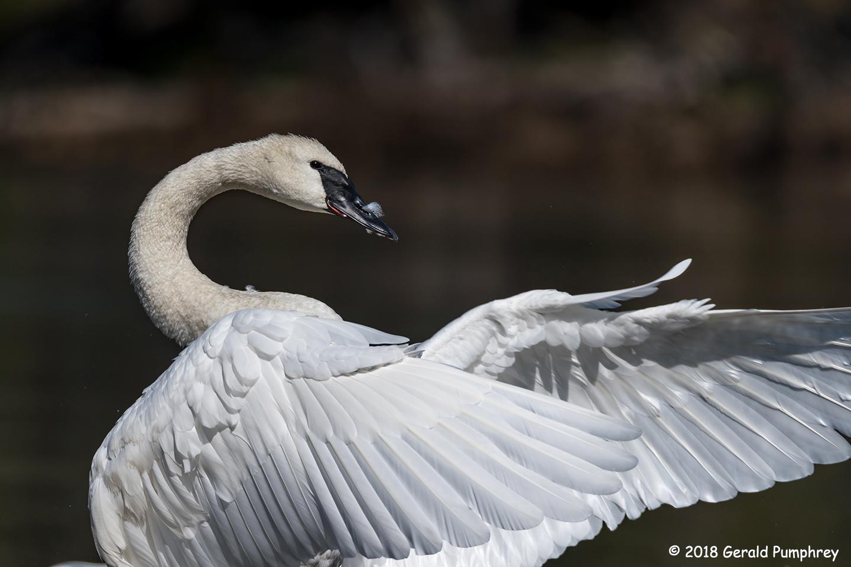 3rd Place Wildlife - Trumpeter Swan by Gerald Pumphrey